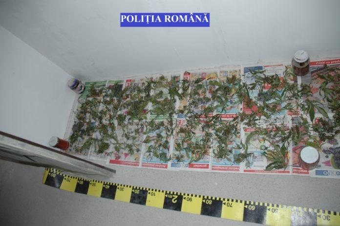 Canabis-și-PISTOALE-descoperite-de-criminaliștii-din-Timișoara-2