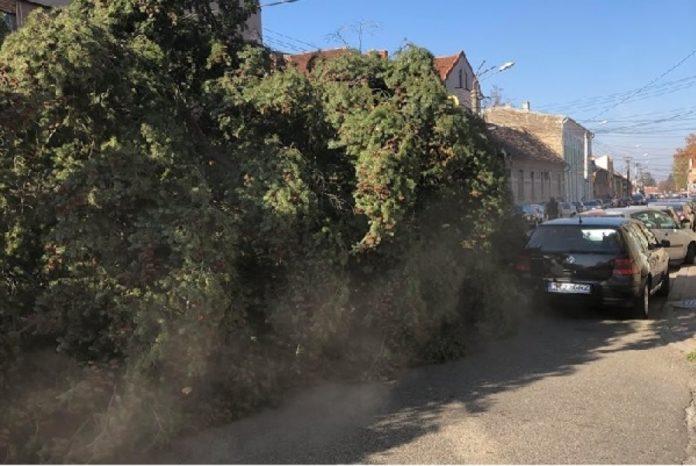 Bradul-de-Craciun-din-Lugoj-tarat-pe-asfalt-printre-masini-parcate