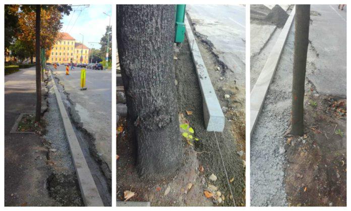 Copaci cu radacinile in BETON, langa Primaria Timisoara